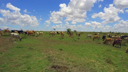 ruminante : cows gazing in savanna at africa