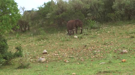 mother cow : elephant with baby or calf in savanna at africa Stock Footage