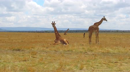 жираф : group of giraffes in savanna at africa