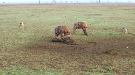 carrion : hyenas eating carrion and jackals at africa Stock Footage