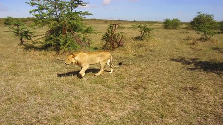 polowanie : young lion hunting in savanna at africa Wideo
