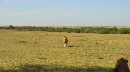 av : young lion hunting in savanna at africa Stok Video