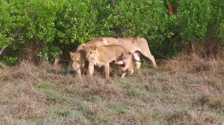 aslan : lioness with cub in savanna at africa Stok Video
