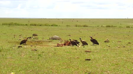 гриф : vultures eating carrion in savannah at africa