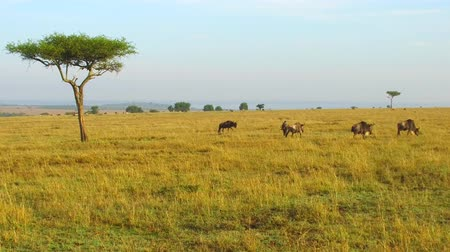 akacja : wildebeests grazing in savanna at africa