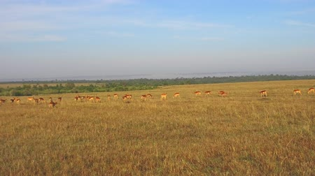 diurnal : impala or antelopes grazing in savanna at africa Stock Footage