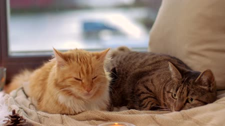 domestic short haired : two cats lying on blanket at home window sill