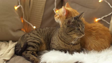 domestic short haired : two cats lying on sofa with sheepskin at home Stock Footage