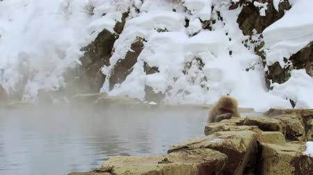 primaz : japanese macaque or snow monkey in hot spring
