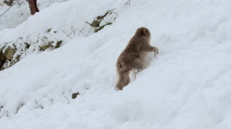 primates : japanese macaque or monkey searching food in snow