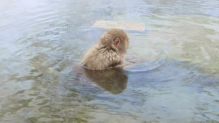 primates : japanese macaque or snow monkey in hot spring