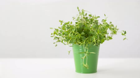 cooking pots : green thyme herb in pot on table