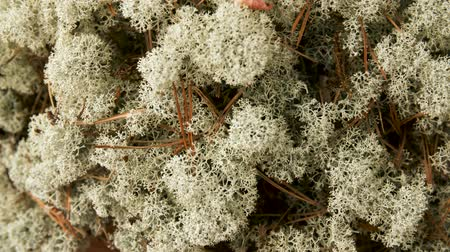 liken : close up of reindeer lichen moss Stok Video