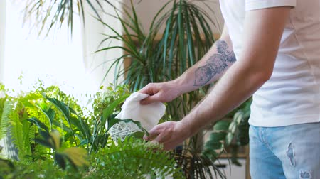 püskürtücü : man spraying and cleaning houseplants at home Stok Video