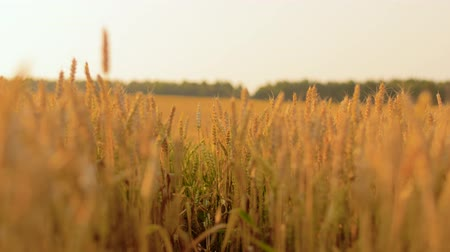 economia rural : cereal field with spikelets of ripe wheat