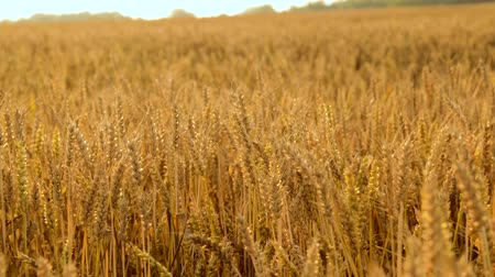 economia rural : cereal field with ripe wheat spikelets