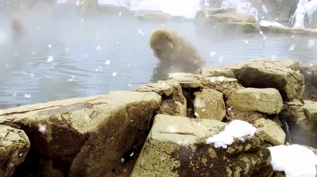 national park : japanese macaque or snow monkey in hot spring