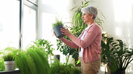 sprzątanie : senior woman takes care of houseplants at home Wideo