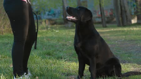 black yellow : labrador dog in the park Stock Footage