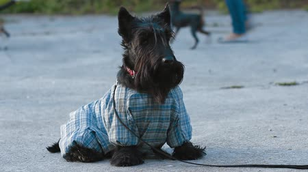 pleading : Scottish terrier dog in overalls walking in the park