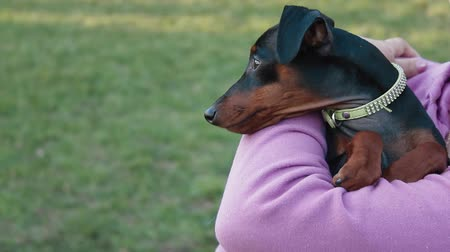 small park : Miniature Pinscher dog in the park