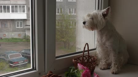 regard : West Highland Terrier chien regardant par la fenêtre