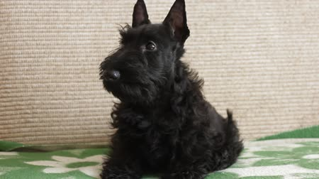 senhora : Scottish terrier puppy on the couch