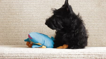 терьер : Scottish terrier puppy on the couch