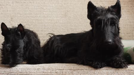 терьер : two Scottish Terrier on couch Стоковые видеозаписи