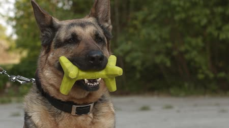 shepherds house : A German Shepherd Dog with a toy in its mouth Stock Footage