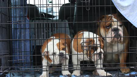 domestic animals : three dogs breed English bulldog in a cage