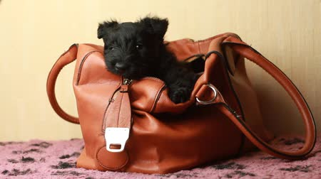 evcil hayvanlar : Scottish Terrier puppy in Handbags