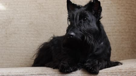 fél : Scottish Terrier on couch