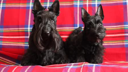 терьер : two scottish terriers