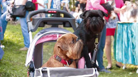 гриф : two Griffon dog in the stroller