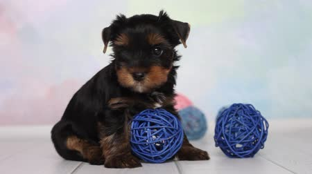 терьер : Yorkshire terrier puppy and wicker balls