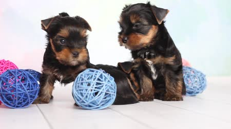 adore : Yorkshire terrier puppy and wicker balls