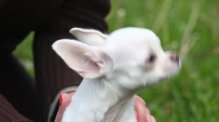 evcil : Chihuahua puppy on hand in park Stok Video