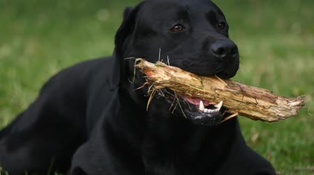 salya : black labrador lies on the grass and gnaws stick Stok Video