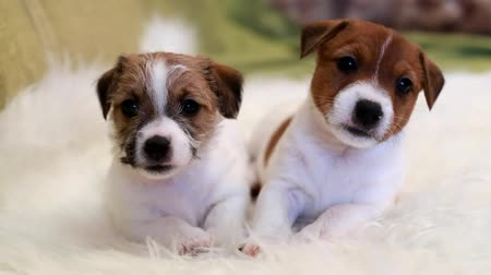 щенок : Two puppy jack russell terrier Стоковые видеозаписи