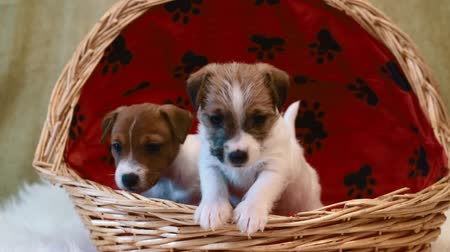 hunting dog : Two puppy jack russell terrier Stock Footage