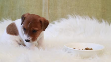 zvedák : Puppy jack russell terrier eating