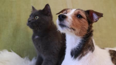 бдительный : Jack Russell Terrier and cat