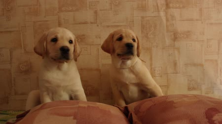 щенок : labrador  puppies