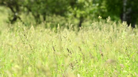 pasture land : Landscape with a traditional hay field full of wild grasses. Wind is swaying grass on the meadow Stock Footage