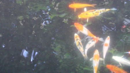 пруд : Koi fish in dark water Стоковые видеозаписи