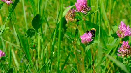 macro shooting : Bumblebee on clover. Wildlife Close-up video shooting.