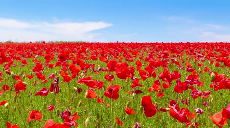 mák : meadow of red poppies against blue sky in windy day  rural background Stock mozgókép