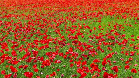 mák : flowers meadow of red poppies field in windy day rural background