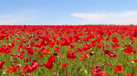 haşhaş : meadow of red poppies against blue sky in windy day  rural background Stok Video